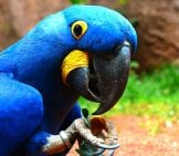 Hyacinth Macaw - I'm Watching You! Photo By: Hans Braxmeier //pixabay.com/photos/blauaras-Parrot-Hyazinth-Ara-406776/