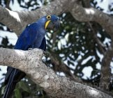 Hyacinth Macaw In A Tree Photo By: Bart Van Dorp Https://creativecommons.org/licenses/by/2.0/