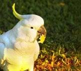 Cockatoo Photo By: Hasitha Tudugalle Https://creativecommons.org/licenses/by/2.0/