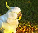 Cockatoo Photo By: Hasitha Tudugalle //creativecommons.org/licenses/by/2.0/