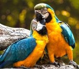 Birds In Lovephoto By: Edmondlafoto//pixabay.com/photos/parrots-Exotic-Ara-Animal-Birds-3427188/