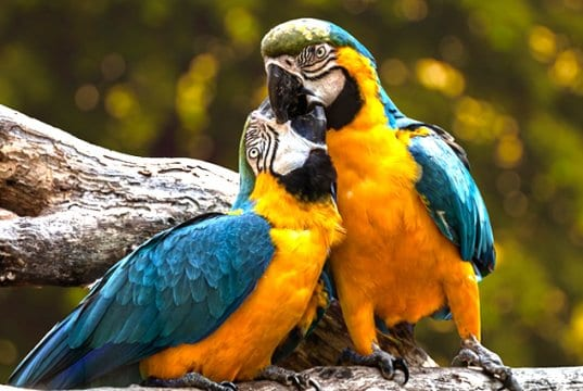 Birds in lovePhoto by: edmondlafotohttps://pixabay.com/photos/parrots-exotic-ara-animal-birds-3427188/