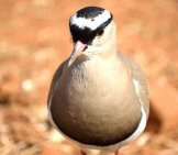 Closeup Portrait Of A Crowned Ploverphoto By: Tracy Angus-Hammondhttps://pixabay.com/photos/crowned-Plover-Bird-384155/