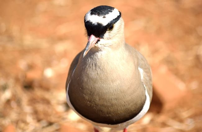 Closeup portrait of a Crowned PloverPhoto by: Tracy Angus-Hammond//pixabay.com/photos/crowned-plover-bird-384155/