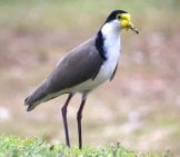 Lapwing Photo By: Mrskirk72 Https://pixabay.com/photos/lapwing-Plover-Bird-Wildlife-Fauna-3664070/