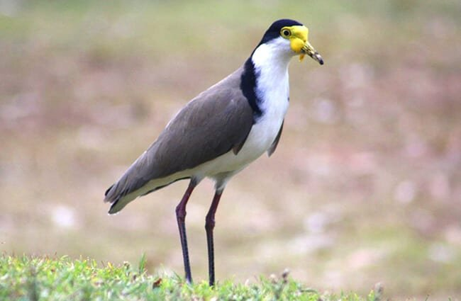 Lapwing Photo by: MrsKirk72 //pixabay.com/photos/lapwing-plover-bird-wildlife-fauna-3664070/