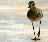 Pacific Golden Plover. Photo By: Skeeze Https://pixabay.com/photos/pacific-Golden-Plover-Bird-Sea-1576569/
