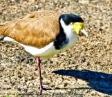 A One-Legged Lapwing Photo By: Siggy Nowak //pixabay.com/photos/plover-One-Legged-Bird-Wildlife-3639446/