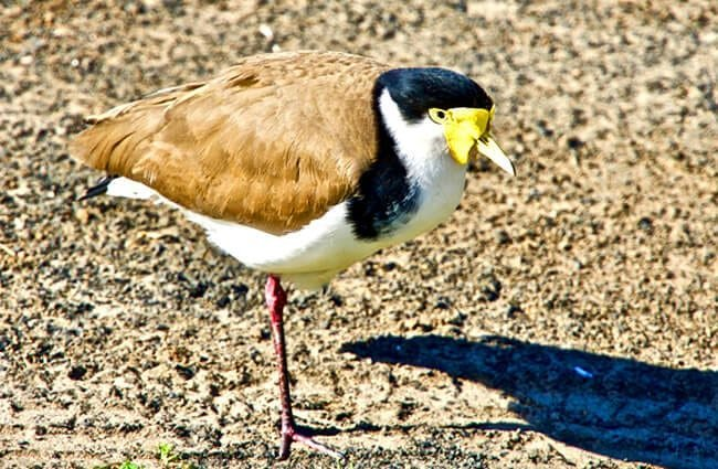 A one-legged Lapwing Photo by: Siggy Nowak https://pixabay.com/photos/plover-one-legged-bird-wildlife-3639446/