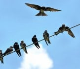 Purple Martins On A Power Wire. Photo By: Brian Garrett Https://creativecommons.org/licenses/by-Nd/2.0/