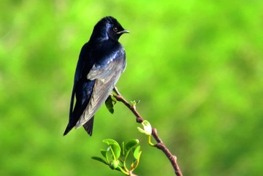 Male Purple Martin on a tiny branchPhoto by: Susan Younghttps://creativecommons.org/licenses/by-nd/2.0/