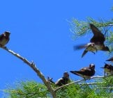 Purple Martins In A Pine Tree Photo By: Susan Young Https://creativecommons.org/licenses/by-Nd/2.0/