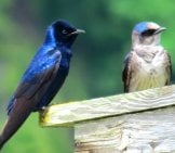 A Pair Of Purple Martins Photo By: Storm Https://creativecommons.org/licenses/by-Nd/2.0/