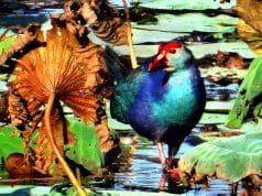 Purple Swamphen (of the Rail family)Photo by: Bishnu Sarangi, Public Domainhttps://pixabay.com/photos/purple-swamphen-porphyrio-porphyrio-342676/