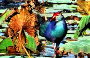 Purple Swamphen (of the Rail family)Photo by: Bishnu Sarangi, Public Domain//pixabay.com/photos/purple-swamphen-porphyrio-porphyrio-342676/
