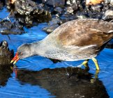 The Moorhen — Sometimes Called Marsh Hens — A Medium-Sized Member Of The Rail Family Photo By: Outnaboutwithcamera Https://creativecommons.org/licenses/by/2.0/