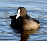 The Coot - A Member Of The Rail Family Photo By: Bernard Spragg. Nz Https://creativecommons.org/licenses/by/2.0/
