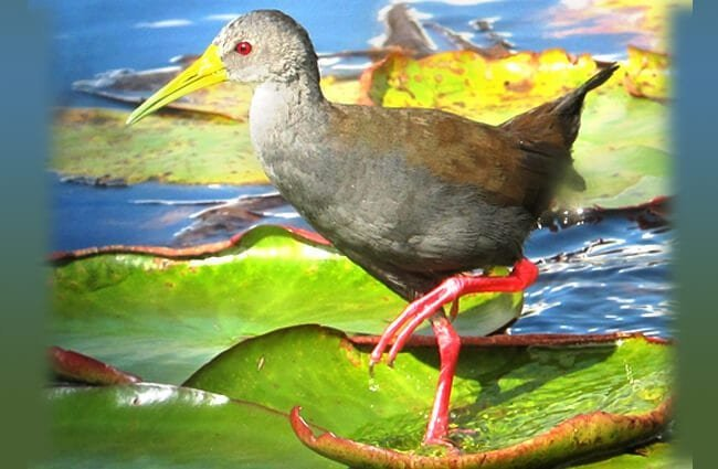 Blackish Rail Rionegro, Antioquia, Colombia Photo by: Félix Uribe https://creativecommons.org/licenses/by/2.0/