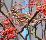 Redwing On A Branch In Autumn Photo By: Amy Felce Https://Creativecommons.org/Licenses/By-Nd/2.0/