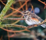 A Winter Redwing Visitor Photo By: Alison Day Https://Creativecommons.org/Licenses/By-Nd/2.0/
