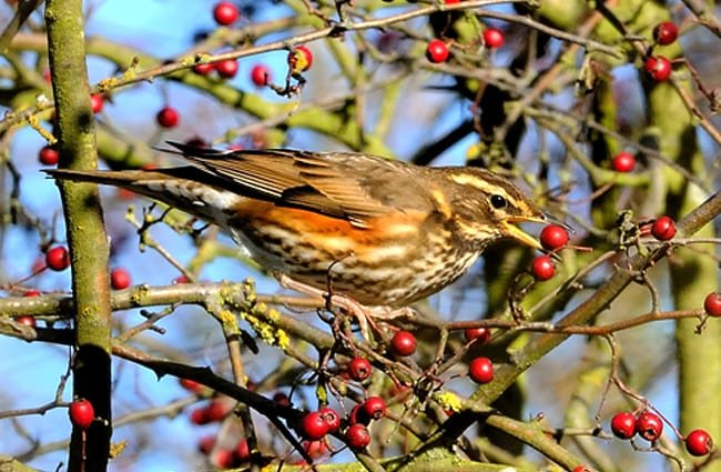 Redwing gathering berries for supperPhoto by: Kev Chapmanhttps://creativecommons.org/licenses/by-nd/2.0/