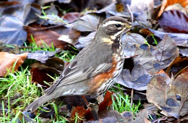 a well-camouflaged Redwing in the fall leaves Photo by: Airwolfhound https://creativecommons.org/licenses/by-nd/2.0/