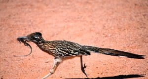 Why did the Roadrunner cross the roadPhoto by: Laura Wolfhttps://creativecommons.org/licenses/by-sa/2.0/