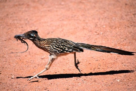 Why did the Roadrunner cross the roadPhoto by: Laura Wolf//creativecommons.org/licenses/by-sa/2.0/
