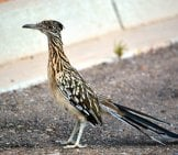 Roadrunner Look Both Ways Before Crossing The Street Photo By: Ryan Schreiber Https://creativecommons.org/licenses/by-Sa/2.0/