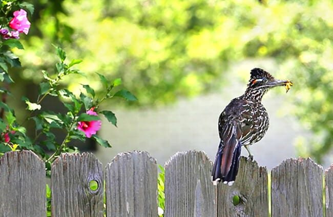 Roadrunners prefer to run along the ground Photo by: msenter https://pixabay.com/photos/bird-tree-roadrunner-leaves-nature-1503811/