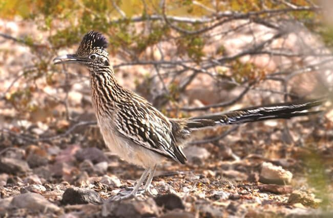 Roadrunner Camouflage Photo by: skeeze https://pixabay.com/photos/roadrunner-bird-chaparral-951106/