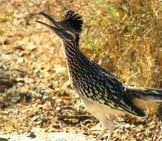 Roadrunner Stopping For A Pic Photo By: Skeeze Https://pixabay.com/photos/greater-Roadrunner-Bird-Wildlife-854405/