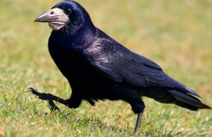 Rooks are golf course pests, digging up the green looking for foodPhoto by: John Haslamhttps://creativecommons.org/licenses/by/2.0/