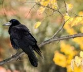 Rook On A Tree Branch In The Fall Photo By: Ewa Urban Https://pixabay.com/photos/crow-Rook-Bird-Raven-Autumn-188336/