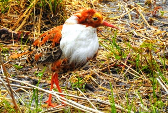 """Male Ruff displaying his """"ruff""""Photo by: Åsa Berndtssonhttps://creativecommons.org/licenses/by/2.0/"""