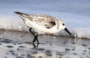 A beautiful Sanderling in winter dressPhoto by: Nature-Pix, public domain//pixabay.com/photos/sanderling-winter-dress-3832729/