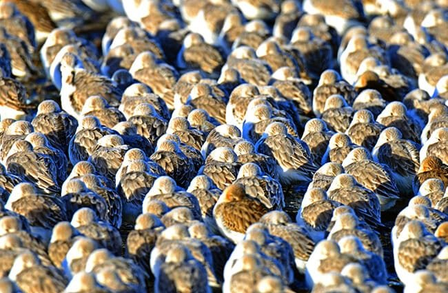 A large flock of Sanderlings sheltering together for warmth Photo by: Dr. Georg Wietschorke, public domain //pixabay.com/photos/sanderlings-birds-cuxhaven-beach-1663732/