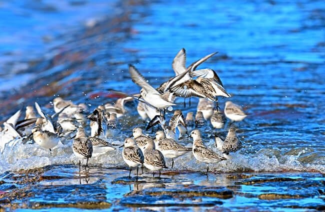 Sanderlings flocking to prosperous waters Photo by: Dr. Georg Wietschorke, public domain //pixabay.com/photos/sanderlings-north-sea-limicoline-2840807/