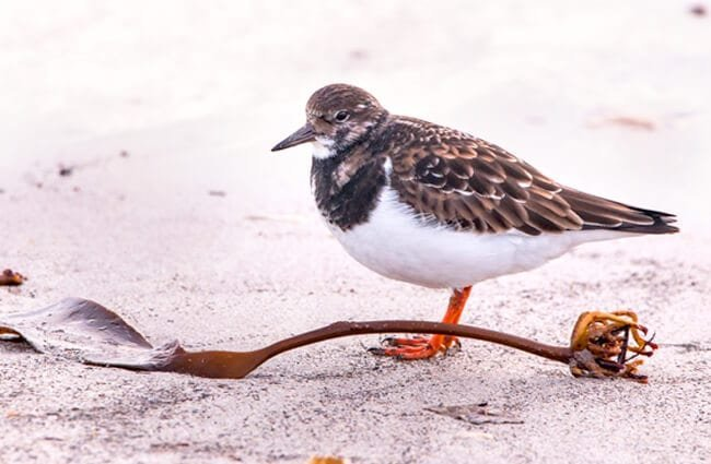 Sandpiper on a white-sand beach in Helgoland Photo by: A_Different_Perspective, Public Domain https://pixabay.com/photos/sandpiper-helgoland-nature-winter-3080483/