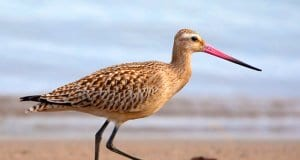 Bar-Tailed GodwitPhoto by: Karen Arnold, Public Domainhttps://pixabay.com/photos/bar-tailed-godwit-godwit-bar-tailed-944883/