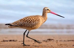 Bar-Tailed GodwitPhoto by: Karen Arnold, Public Domain//pixabay.com/photos/bar-tailed-godwit-godwit-bar-tailed-944883/