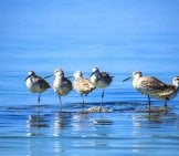 A Flock Of Sandpipers Standing In The Water Photo By: Annebarca, Public Domain Https://Pixabay.com/Photos/Birds-Calm-Water-Peaceful-Blue-2683833/
