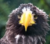 Closeup Of A Sea Eagle Photo By: Hans Splinter Https://Creativecommons.org/Licenses/By-Nd/2.0/