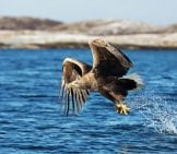 White Tailed Sea Eagle Catching A Fish Photo By: (C) Giedriius Www.fotosearch.com