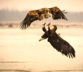 A Pair Of Sea Eagles Fighting Over The Water Photo By: Jüri Vahar Https://Creativecommons.org/Licenses/By-Nd/2.0/