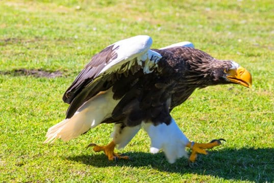 Steller´s Sea Eagle in a zoo's ambassador programPhoto by: Susanne Nilssonhttps://creativecommons.org/licenses/by-nd/2.0/
