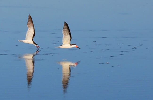 Black Skimmers flying low over the water Photo by: skeeze https://pixabay.com/photos/birds-skimmers-black-flying-water-3858506/