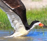 Black Skimmer Lifting From The Water Photo By: Pehart Https://creativecommons.org/licenses/by-Sa/2.0/
