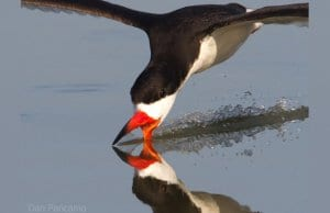 A large Skimmer skimmingPhoto by: Dan Pancamohttps://creativecommons.org/licenses/by-sa/2.0/