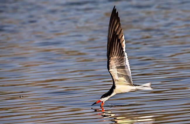 Skimmer skimming Photo by: Andy Morffew https://creativecommons.org/licenses/by-sa/2.0/